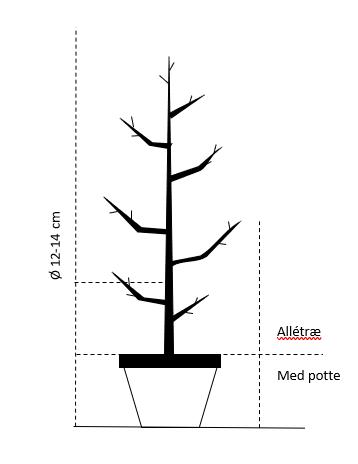 Alletræ, Stammeomkreds 12-14 cm. med potte