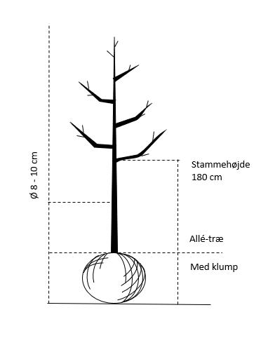 Alletræ, Stammeomkreds 8-10 cm. med klump, stammehøjde 180 cm.