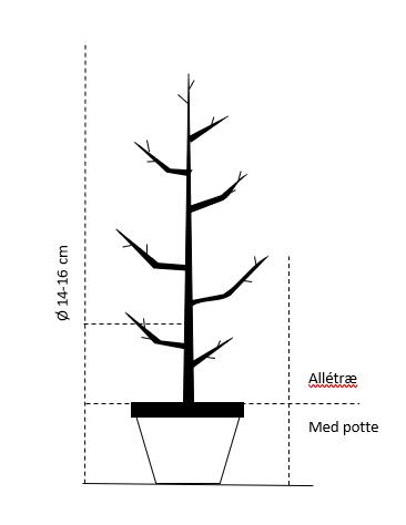 Alletræ, Stammeomkreds 14-16 cm. med potte