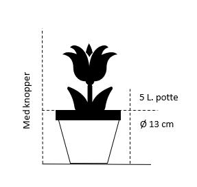 5 liter potte med blomsterknopper