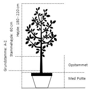 Potte, -A-Kvalitet Opstammet 60 cm. A-2 højde 180/220 cm.