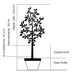 Potte, -A-Kvalitet Opstammet 60 cm. M-111 højde 180/220 cm.