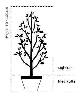 Søjletræ 60-100 cm. Med potte