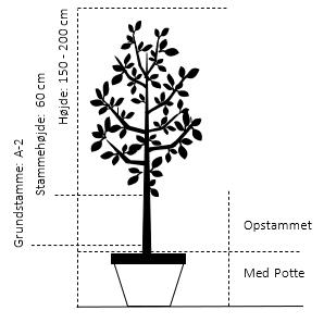 Potte, -A-Kvalitet Opstammet 60 cm. A-2 højde 150/200 cm.