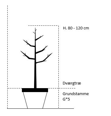Dværgtræ G*5 højde 80/120 cm.
