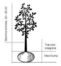 Træ med sidegrene,- stammeomkreds 25-30 cm. med klump