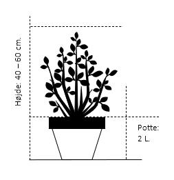 Potte 2,0 liter,- 40-60 cm.