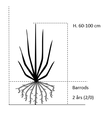 Barrods,- 2 års (2/0) 60-100 cm.