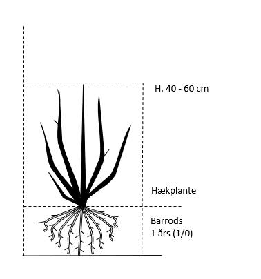 Barrods,- 1 års (1/0) 40-60 cm.