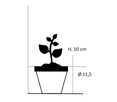 11,5 cm. potte