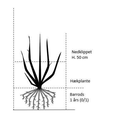 Barrods,- 1 års (0/1) Nedklippet til 50 cm.