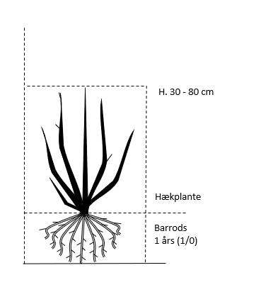 Barrods,- 1 års (1/0) 30-80 cm.