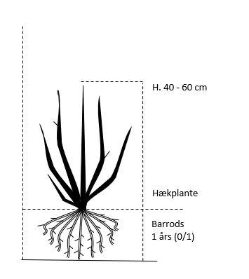 Barrods,- 1 års (0/1) 40-60 cm.