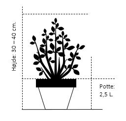 Potte 2,5 liter, - 30-40 cm.