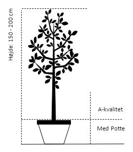 Potte,- A-kvalitet, højde 150-200 cm.
