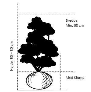 Med klump 60-80 cm. høj. min. 80 cm. bred.