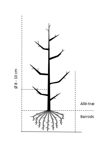 Alletræ, Stammeomkreds 8-10 cm. barrods
