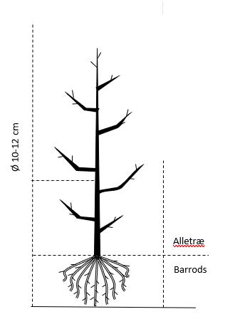 Alletræ, Stammeomkreds 10-12 cm. barrods