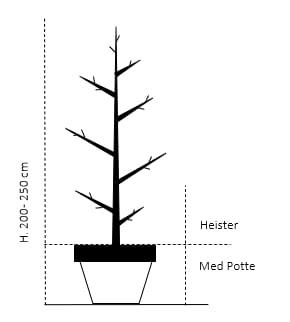 Heister 200-250 cm. Med potte