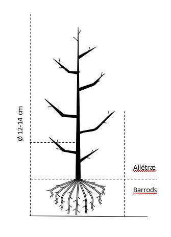 Alletræ, Stammeomkreds 12-14 cm. barrods