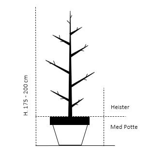 Heister 175-200 cm. Med potte