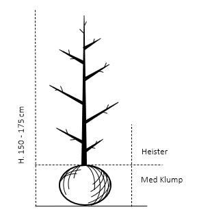 Heister 150-175 cm. Med klump
