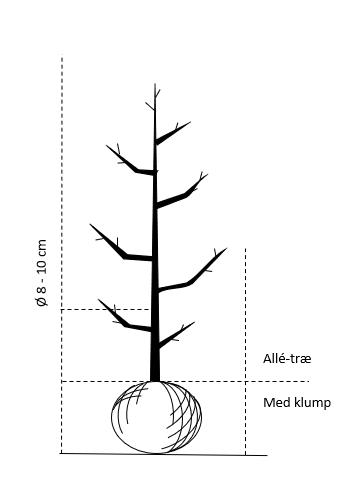 Alletræ, Stammeomkreds 8-10 cm. med klump
