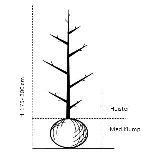 Heister 175-200 cm. Med klump