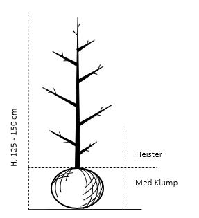 Heister 125-150 cm. Med klump