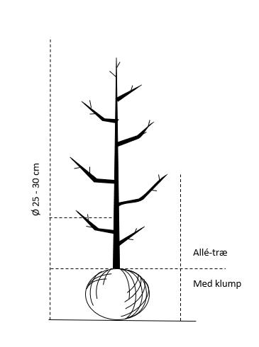 Alletræ, Stammeomkreds 25-30 cm. med klump