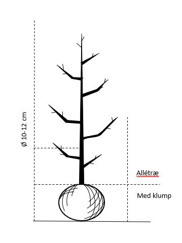 Alletræ, Stammeomkreds 10-12 cm. med klump