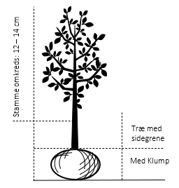 Træ med sidegrene,- stammeomkreds 12-14 cm. med klump