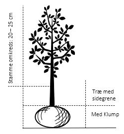 Træ med sidegrene,- stammeomkreds 20-25 cm. med klump