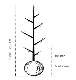 Heister 200-250 cm. Med klump