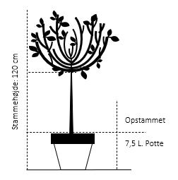 Opstammet 120 cm. 7,5 liter potte