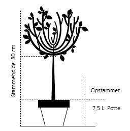 Opstammet 80 cm. 7,5 liter potte