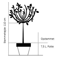 Opstammet 110 cm. 7,5 liter potte
