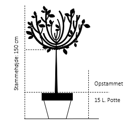 Opstammet 150 cm. 15 liter potte