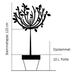 Opstammet 120 cm. 10 liter potte