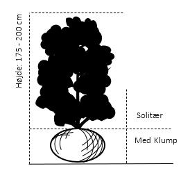 Solitær busk 175-200 cm. - med klump