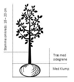 Træ med sidegrene,- stammeomkreds 18-20 cm. med klump
