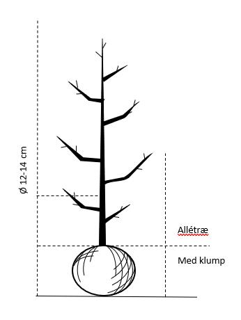Alletræ, Stammeomkreds 12-14 cm. med klump