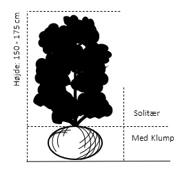 Solitær busk 150-175 cm. - med klump