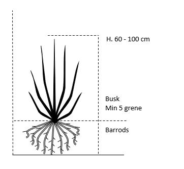 Busk,- barrods- minimum 5 grene -  60-100 cm.