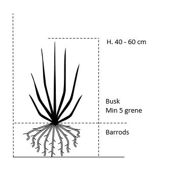 Busk,- barrods- minimum 5 grene -  40-60 cm.
