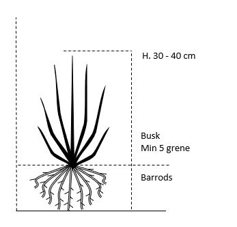 Busk,- barrods- minimum 5 grene -  30-40 cm.