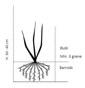 Busk,- barrods- minimum 3 grene -  30-40 cm.