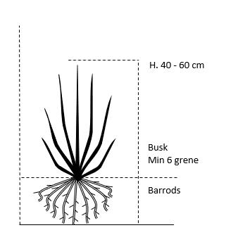 Busk,- barrods- minimum 6 grene -  40-60 cm.