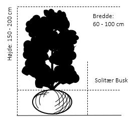 Solitær busk 150-200 cm. høj,- 60-100 cm. bred.