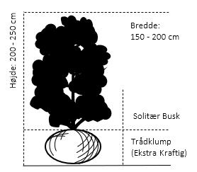 Solitær busk 200-250 cm. høj,- 150-200 cm. bred.,- med trådklump
